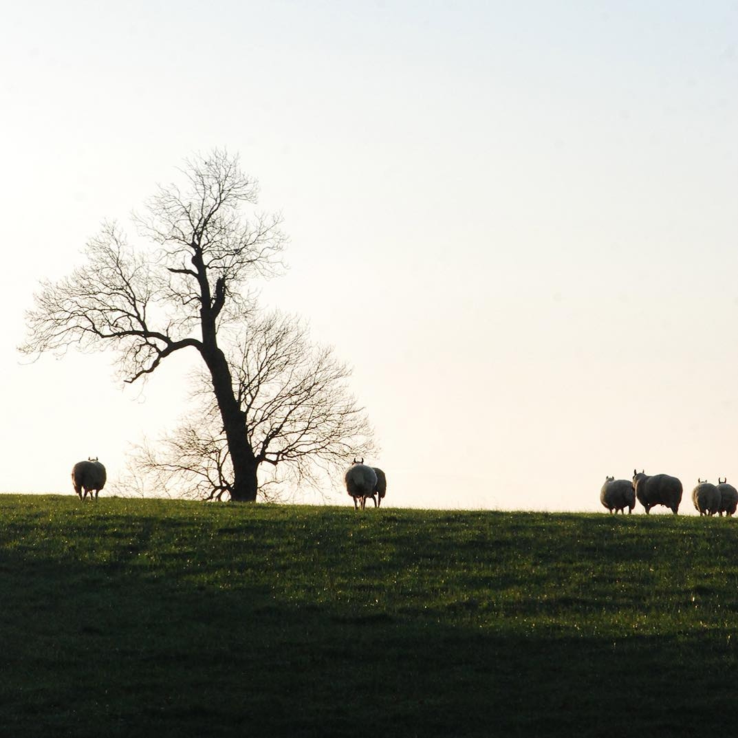 Love following these wooly bottoms up the hill #morningwalk #Cotswolds #nature #farm #organic #nurture #nurturenature