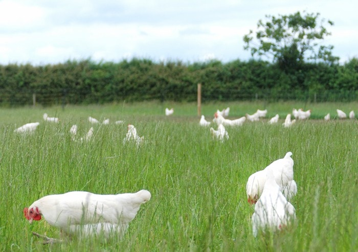 Free range organic chickens