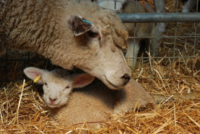 lamb 2-min