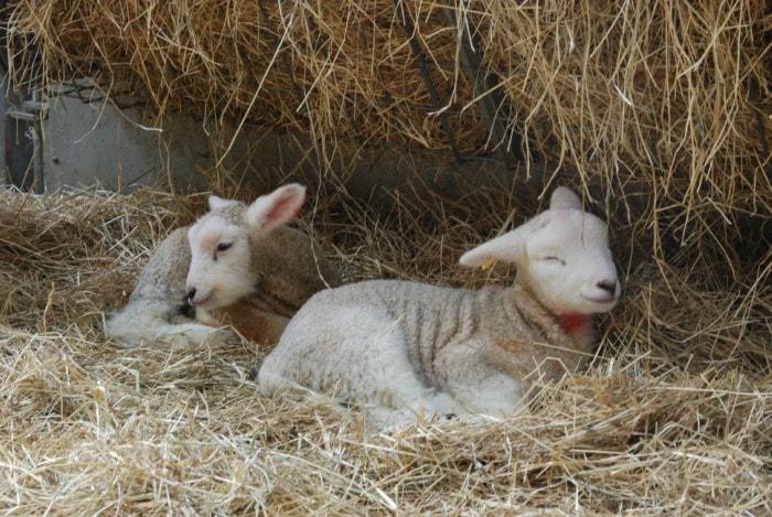 lamb 3-min