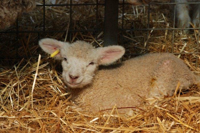 lamb1-min