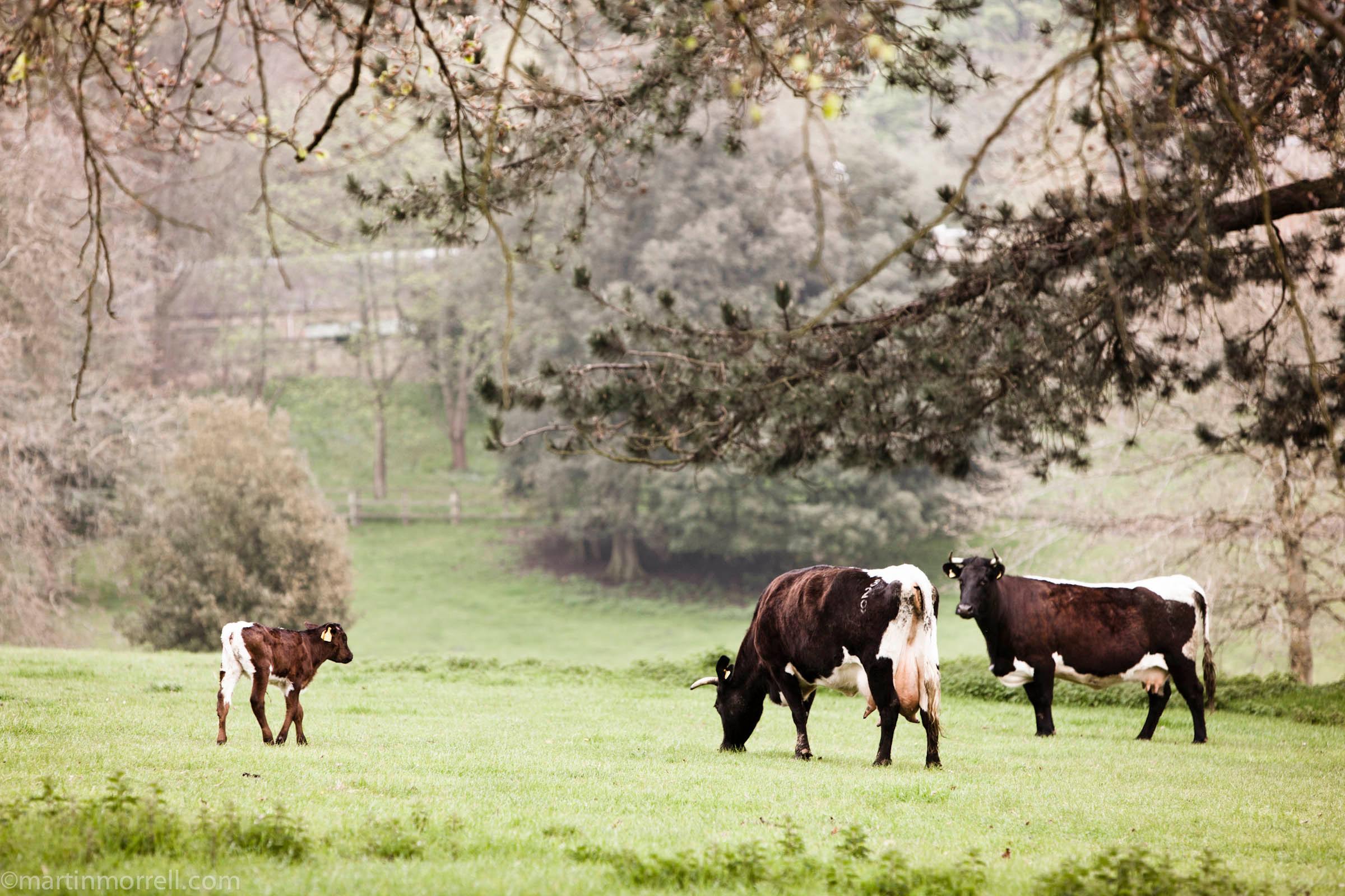 Cows 2