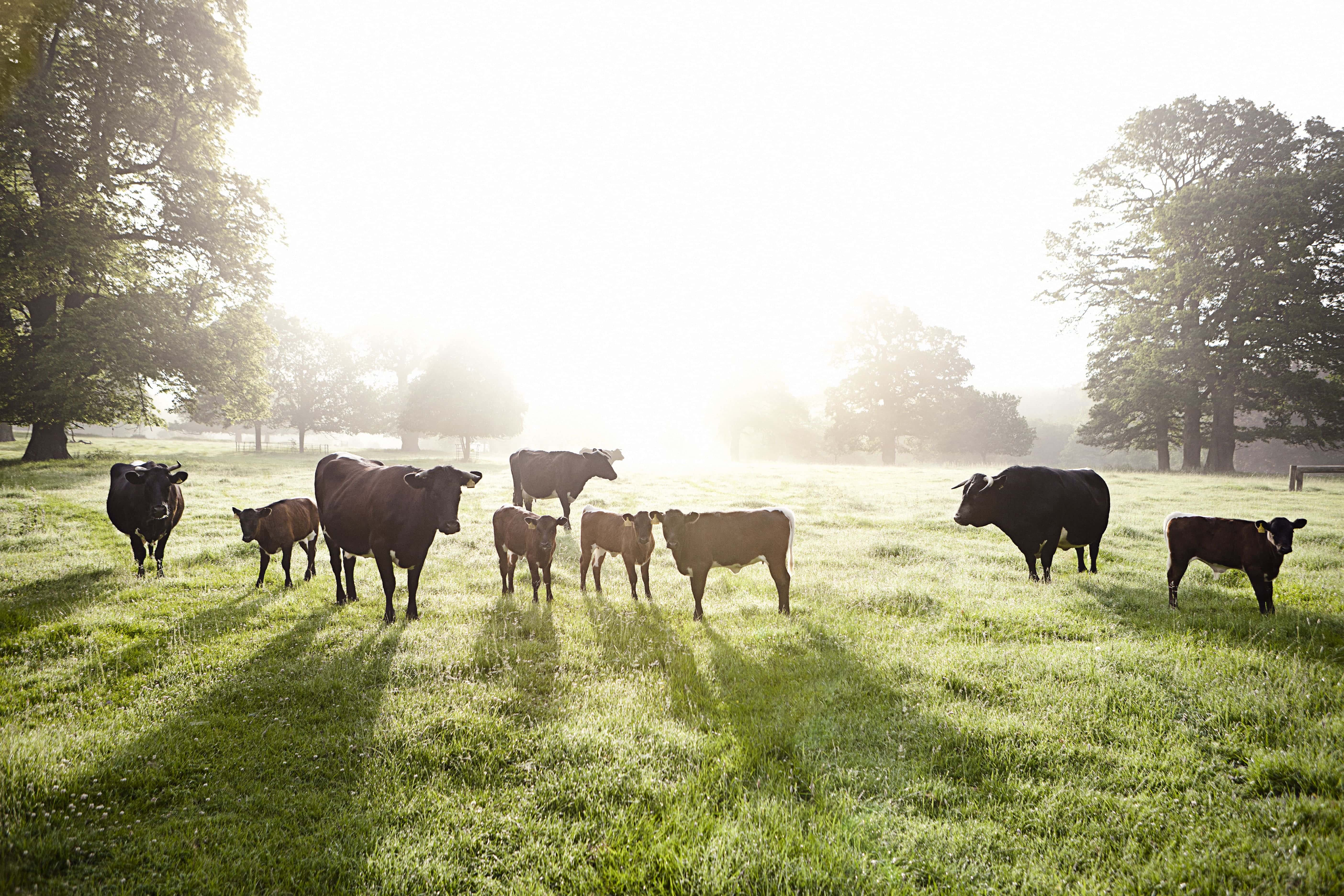 Nurture, Daylesford - old gloucester cattle-min-min (1)