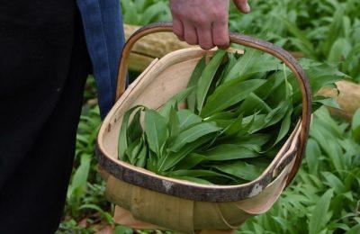 Wild garlic season and a recipe for a spring greens soup